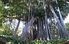Ficus macrophylla (botanic garden)