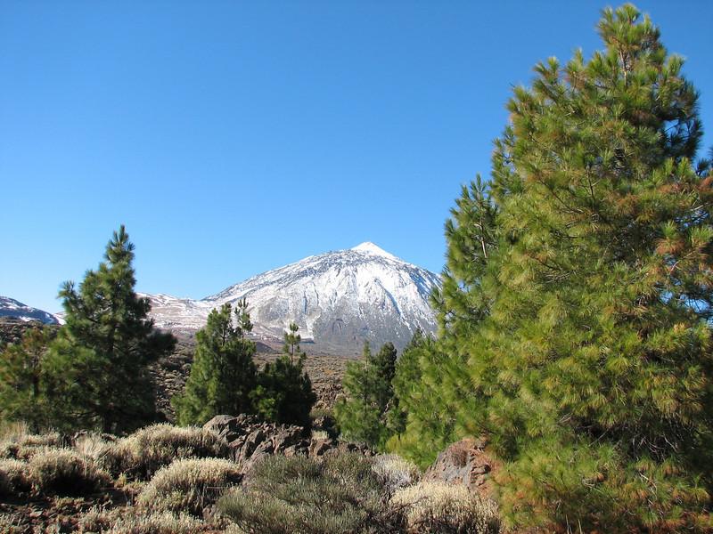 Pinus canariense and La Teide 3718m. (Tenerife)