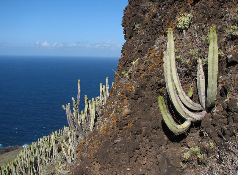 Euphorbia canariensis (Teno, Tenerife)