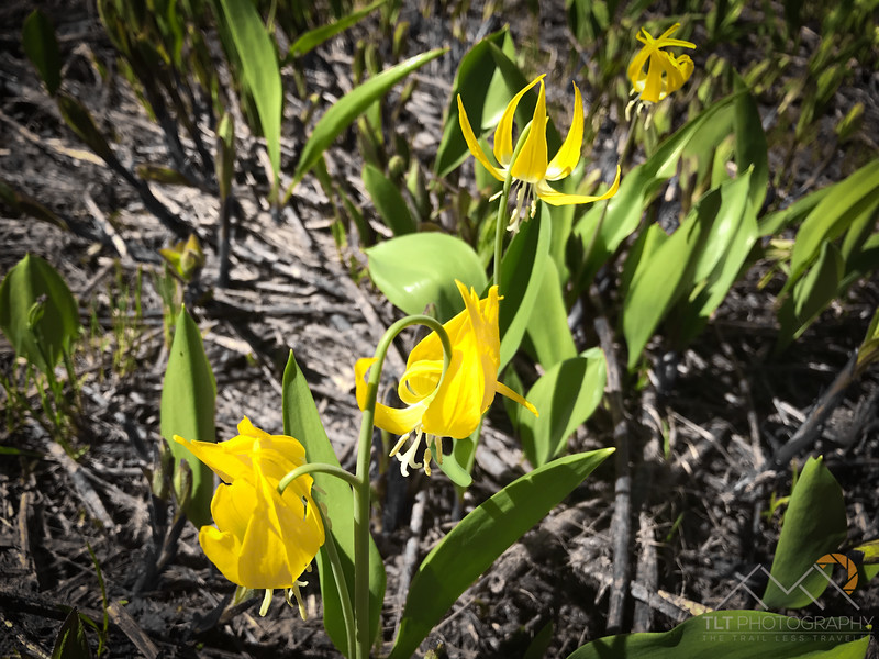 Glacier Lily's along the Phelps Creek Trail in Glacier Peak Wilderness.