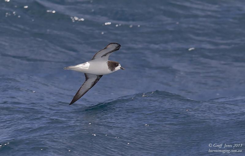 AU00623c Gould's Petrel ( Pterodroma leucoptera )  Between Tasmania & Bottom of South Island NZ Feb 2013