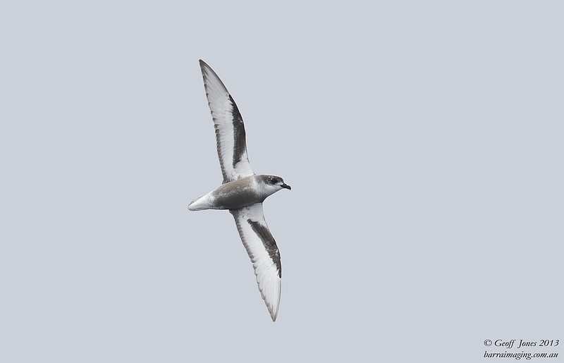 NZ00618c Mottled Petrel ( Pterodroma inexpectata ) South-West of South Island NZ Feb 2013