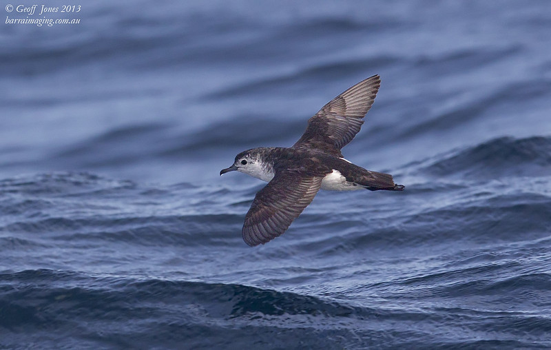 AU00664c Little Shearwater ( Puffinus assimilis ) Nom race Between Tasmania & Bottom of South Island NZ Feb 2013