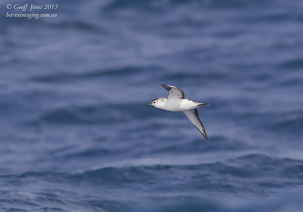 AU00664b Little Shearwater ( Puffinus assimilis ) Nom race Between Tasmania & Bottom of South Island NZ Feb 2013
