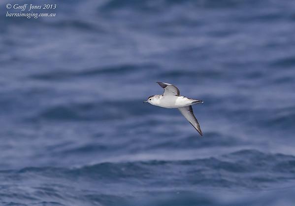 AU00664b Little Shearwater ( Puffinus assimilis ) Nom race Between Tasmania & Bottom of South Island NZ Feb 2013