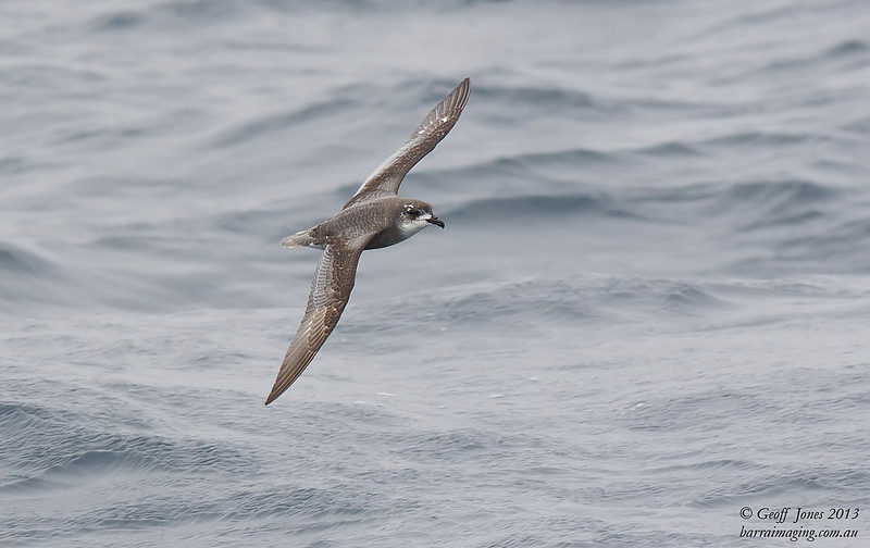 NZ00618d Mottled Petrel ( Pterodroma inexpectata ) South-West of South Island NZ Feb 2013
