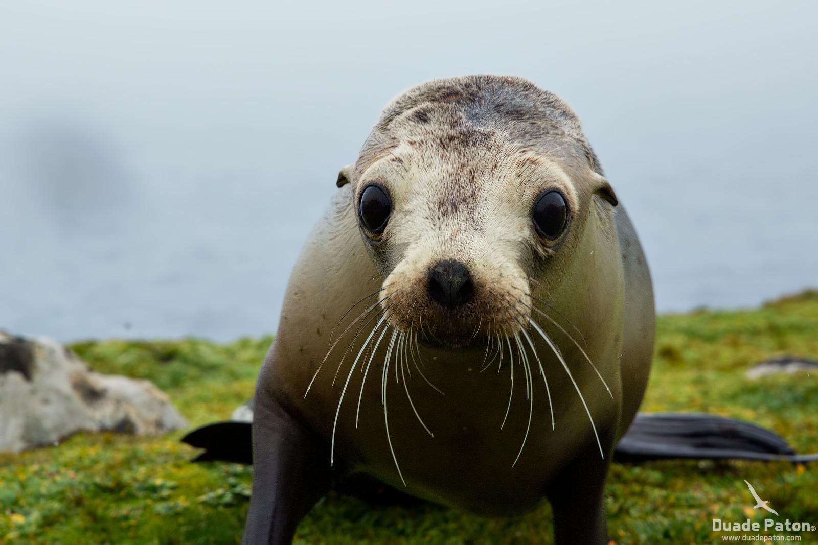 Hooker's Sea Lion pup