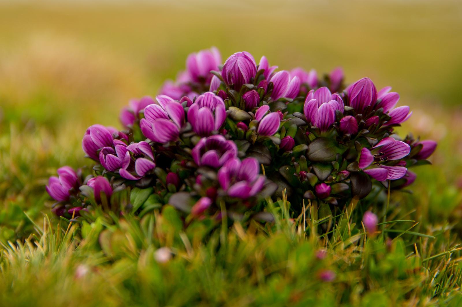 Gentian (Gentianaceae) flowers, Auckland Islands, New Zealand
