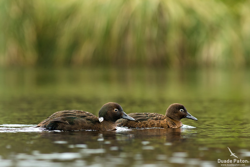 Auckland Island Teal - Male(L) Female(R)