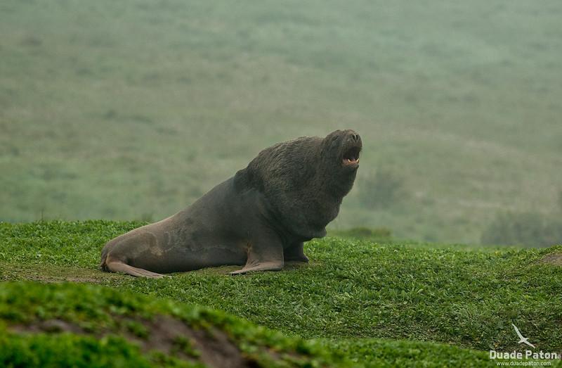 Hooker's Sea Lion - Adult Male showing mane.