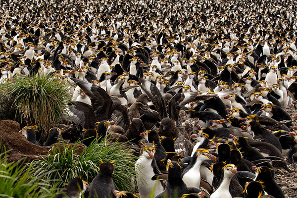 Royal Penguin Colony - Brown Skua attack