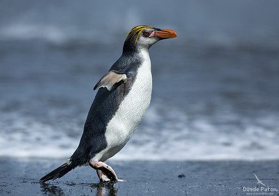 Royal Penguin