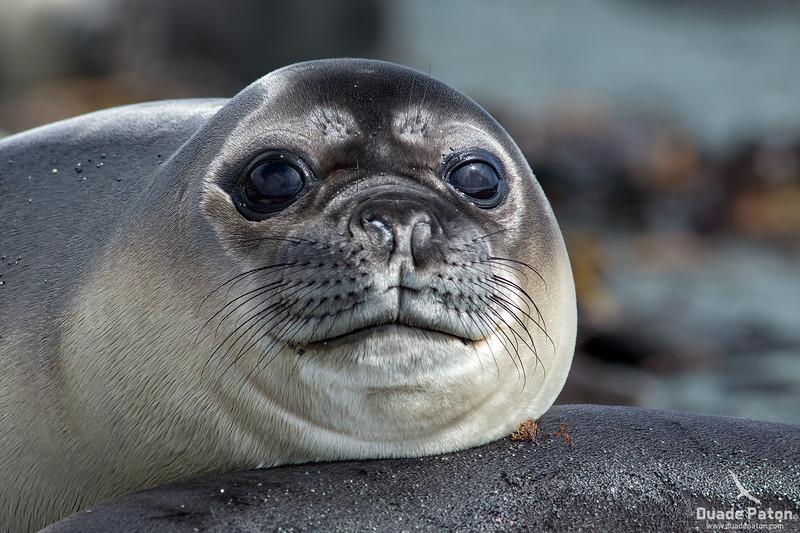 Elephant Seal Pup