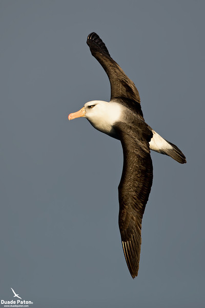Campbell Albatross
