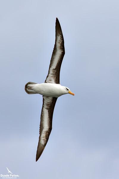 Campbell Albatross