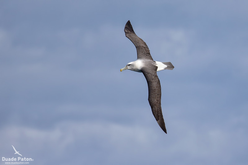 Shy Albatross (White-capped)