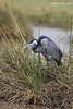 Black-headed Heron.