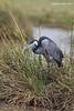 Black-headed Heron.