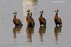 White-faced whistling ducks on parade.