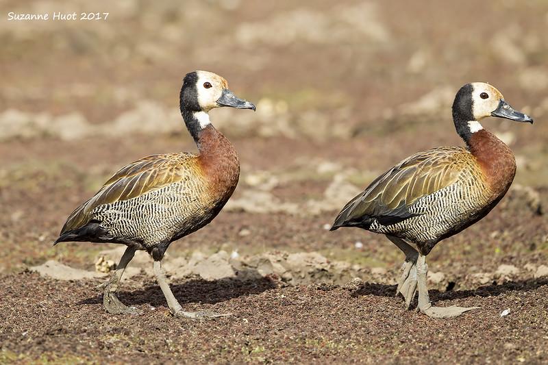 White -faced Whistling ducks.