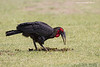 Southern Ground Hornbill foraging