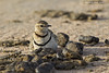 Two-banded Courser  sitting on nest.