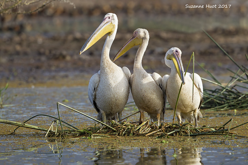 Trio of Great  White Pelicans