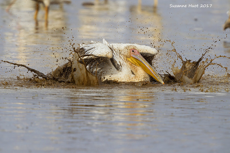Great White Pelican bathing.