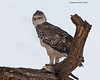 Martial Eagle , juvenile.