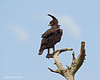 Long-crested Eagle.