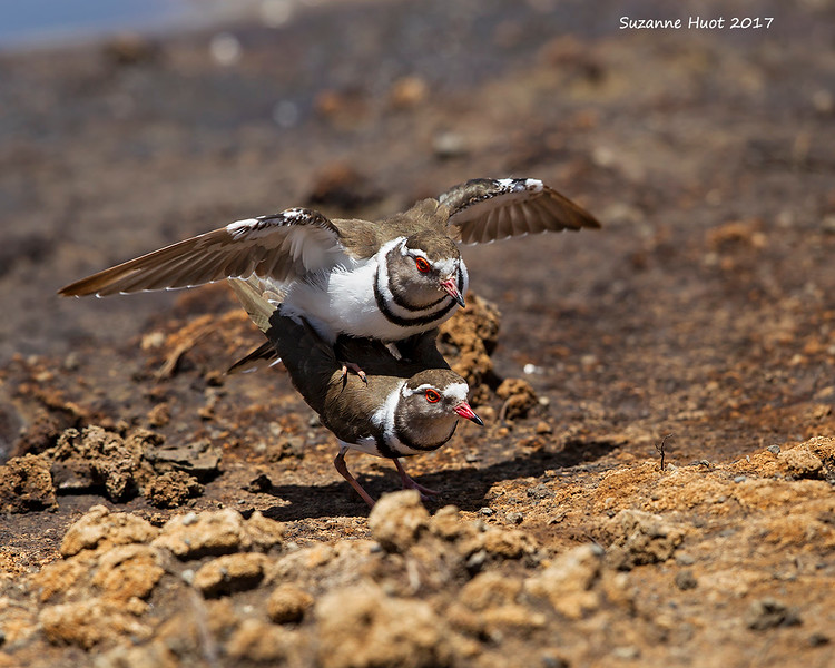 Three-banded Plovers mating.