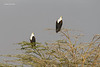 African fish-eagles. Mated pair.