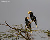 Silver-cheeked Hornbills. male and female