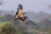 Tawney Eagle.