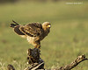 Tawny Eagle at sunrise.