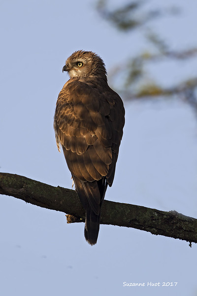 Unknown Raptor in need of I.D