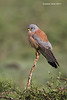 Common Kestrel . male