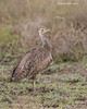 Black-bellied Bustard , female.