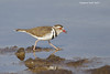 Three-banded Plover.