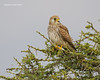 Lesser Kestrel female.