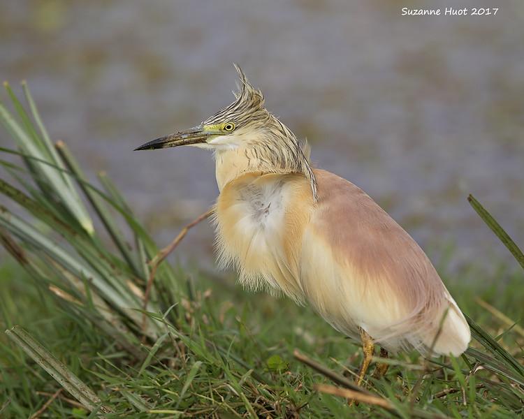 Squcacco  Heron
