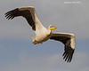 Great White Pelican.