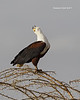 African fish Eagle calling .