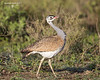 White-bellied Bustard., male