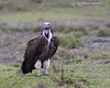 Lappet -faced vulture.
