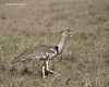 Kori Bustard , female.