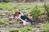 Von  Der Decken's Hornbill with Scorpion snack..