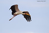 Yellow-billed Stork in flight.