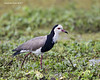 Long-toed Plover.