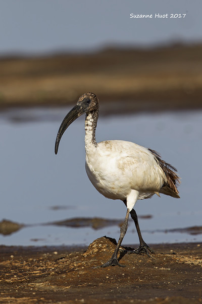 Sacred Ibis, juvenile.